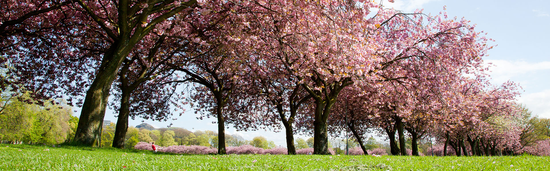 Meadows-cherry-trees02