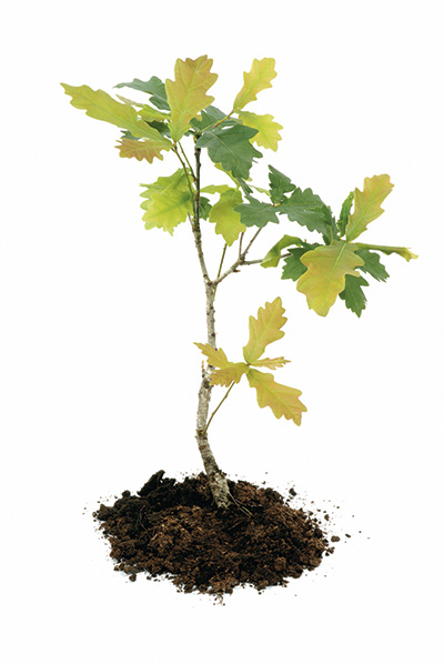 Frequently asked questions treetime edinburgh for Tree sapling